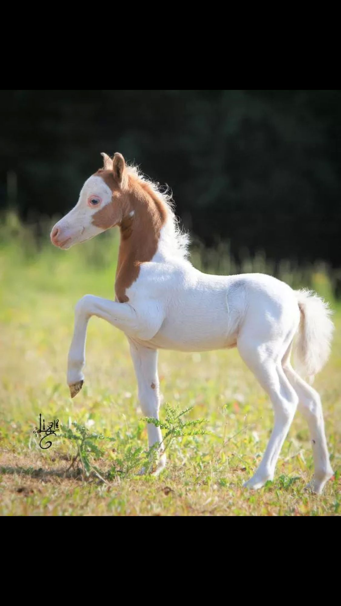 Photo of An albino foal with an almost brown head. #APASSIONATA