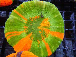 Live Coral Oz Aussie Scolymia Scoly Bleeding Apple Green Red Wysiwyg