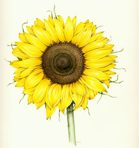 Sunflower. Botanical illustration of sunflower by Lizzie ...