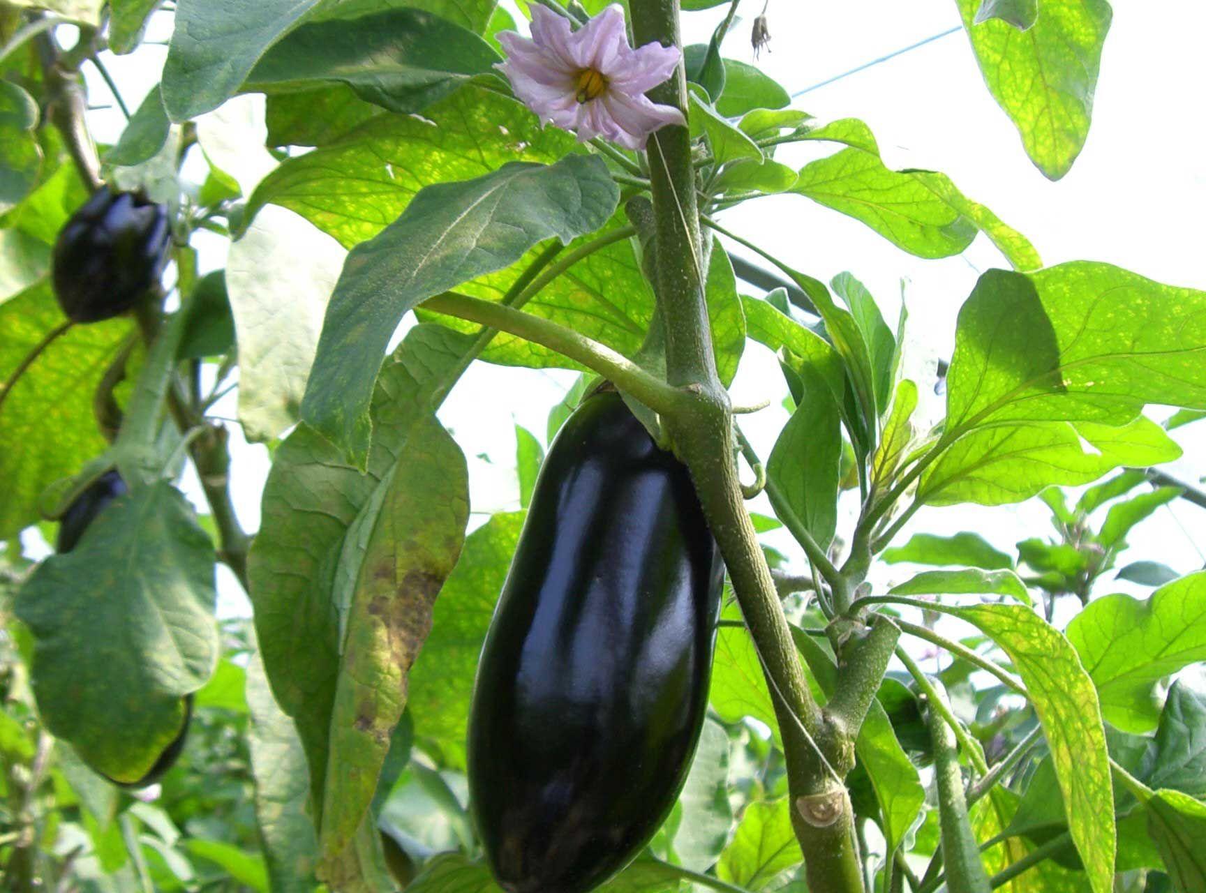 auberginen selber auf dem fensterbrett ziehen pflanzen pinterest pflanzen garten und. Black Bedroom Furniture Sets. Home Design Ideas