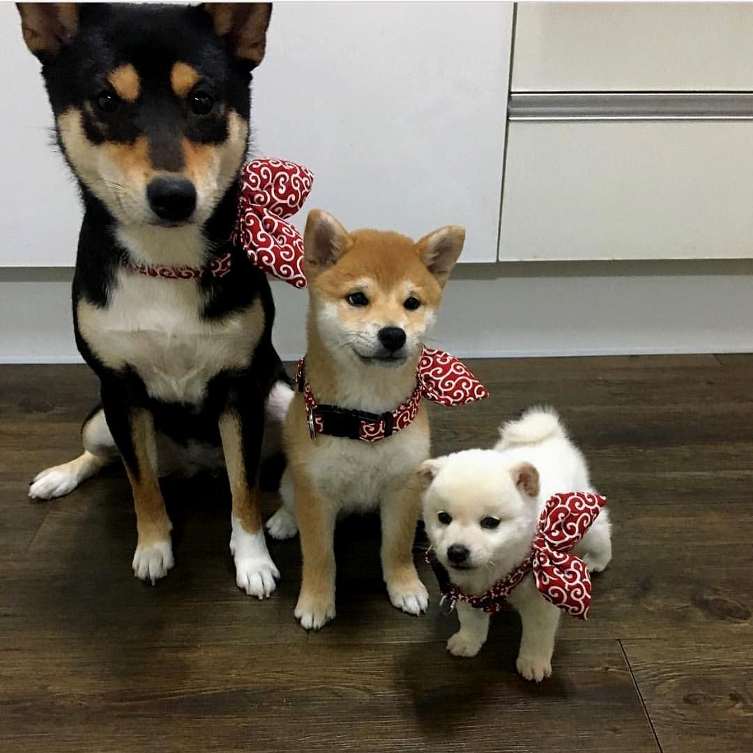 1 628 Likes 31 Comments Shiba Inu Shiba Of Insta On Instagram 家族 Generations Of Shiba Inu By Shiba Mizz Follow Sh 可愛い犬 柴犬 可愛い 可愛いワンちゃん