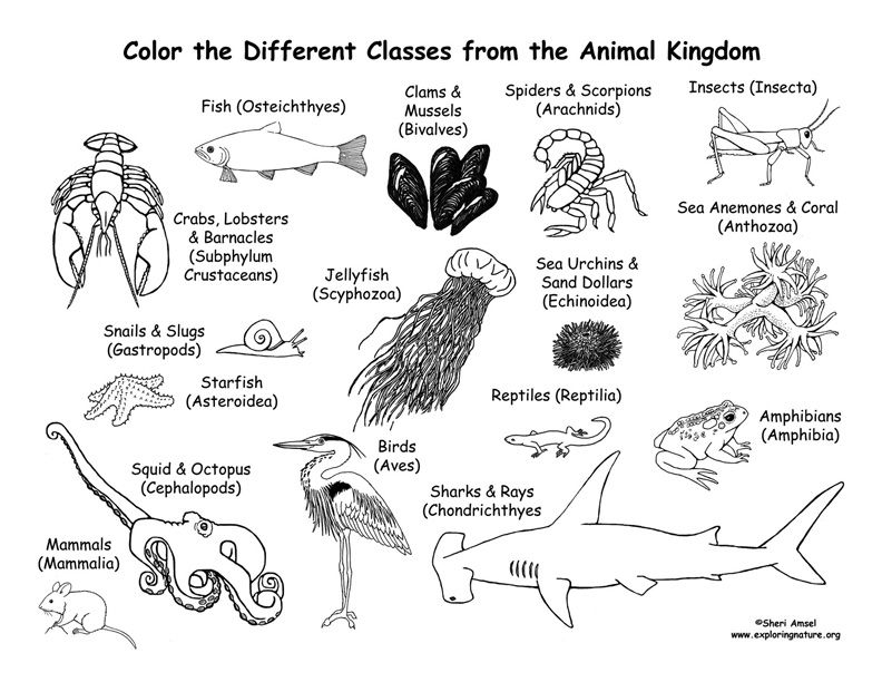 Animals From Every Class Of The Animal Kingdom Coloring Page From Exploringnature Org Animal Classification Animal Kingdom Colouring Book Animal Kingdom