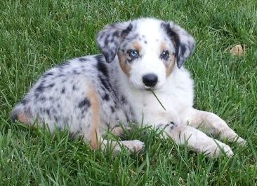 Australian Shepherd Blue Heeler Mix Heeler Puppies Cute Dogs Animals Beautiful