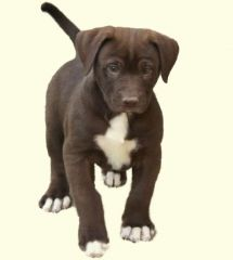 Bullador Puppies For Sale Bullador Dog Breed Info Dog Breed