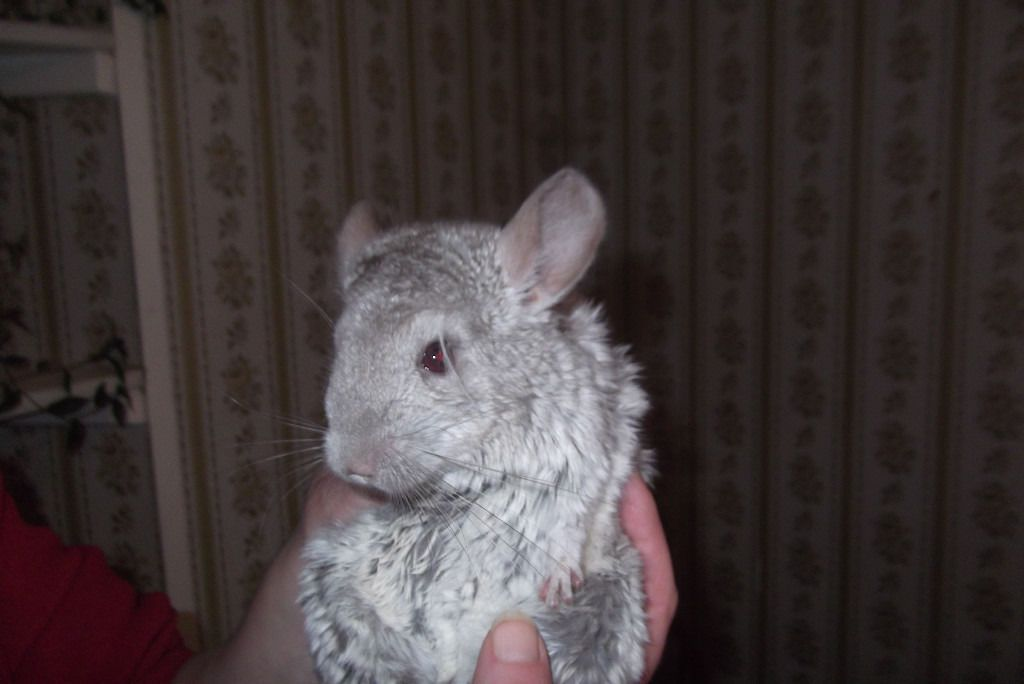Unusual Colour Chinchilla With Great Temperament Available In Fraserburgh Ellon Peterhead Area With Images Small Pets Chinchilla Pets