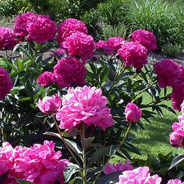 Peonies For Canadian Gardens.