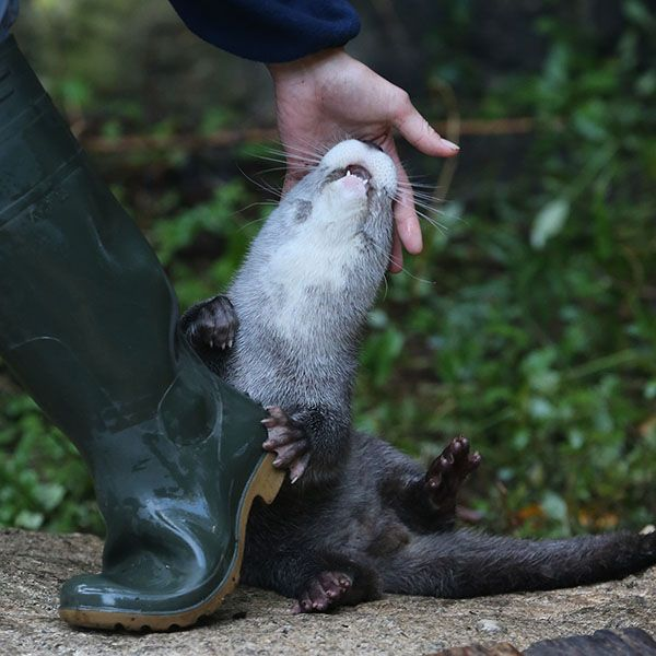 Overdramatic Otter Begs Human to Stay