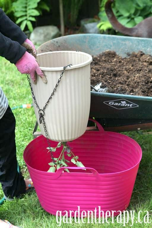 How To Plant An Upside Down Tomato Planter Upside Down 640 x 480