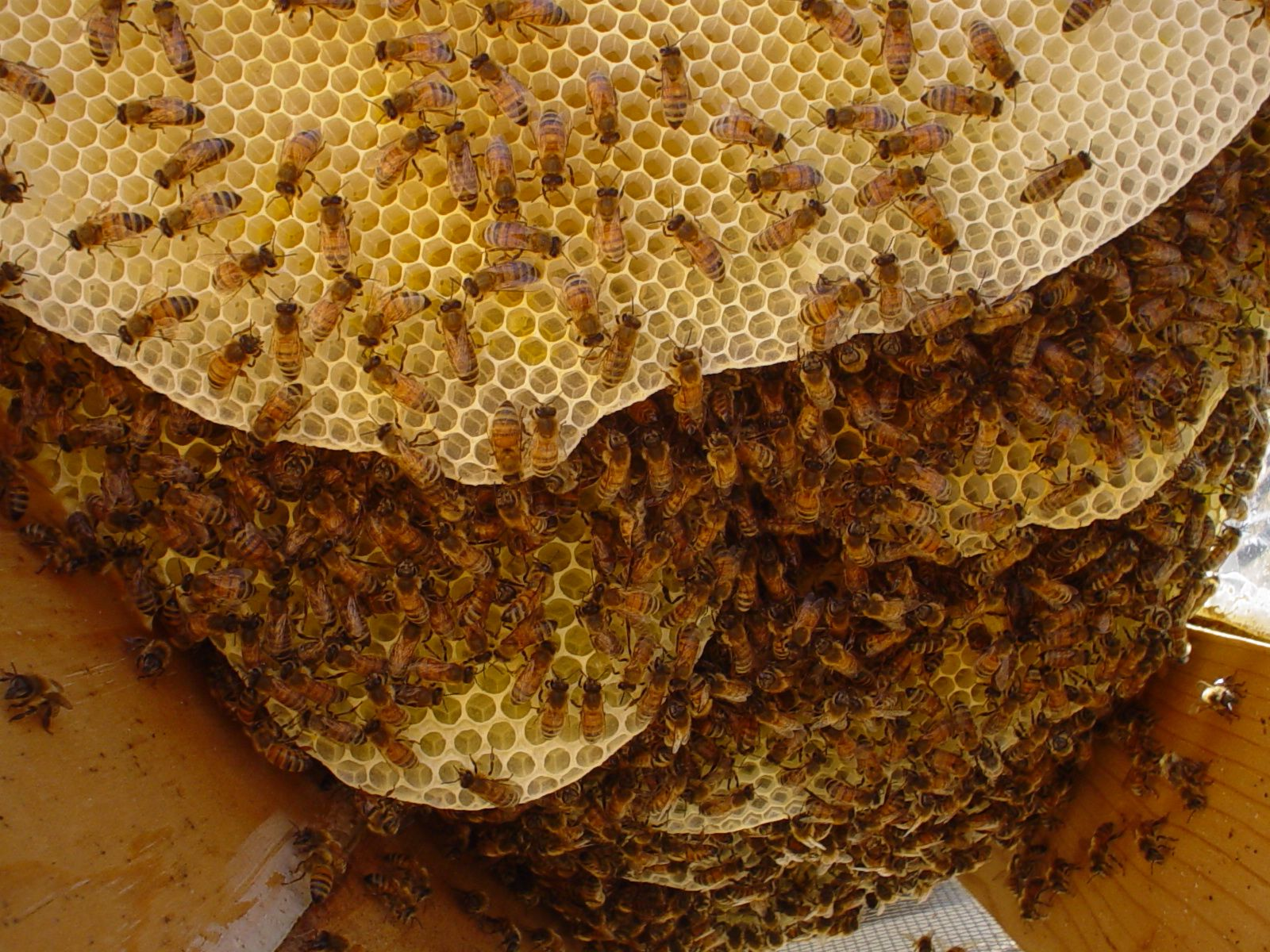 Worksheet Bees Live In a honey bees life bee facts trivia have you ever wondered what is like inside beehive live in city made of wax their up hundr