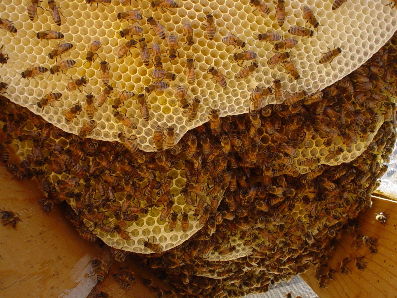 A Honey Bee's Life, Honey Bee Facts, Honey Bee Trivia ...