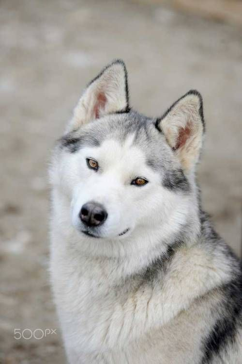 I Love You Mama Siberian Husky