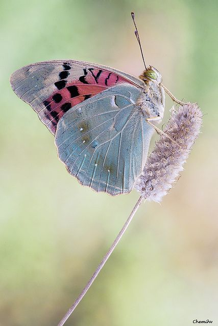 And pluck the wings from painted butterflies / To fan the moonbeams from his sleeping eyes. _ Titania, A Midsummer Night's Dream, Act III, Scene1 [Credit - Argynnis pandora]