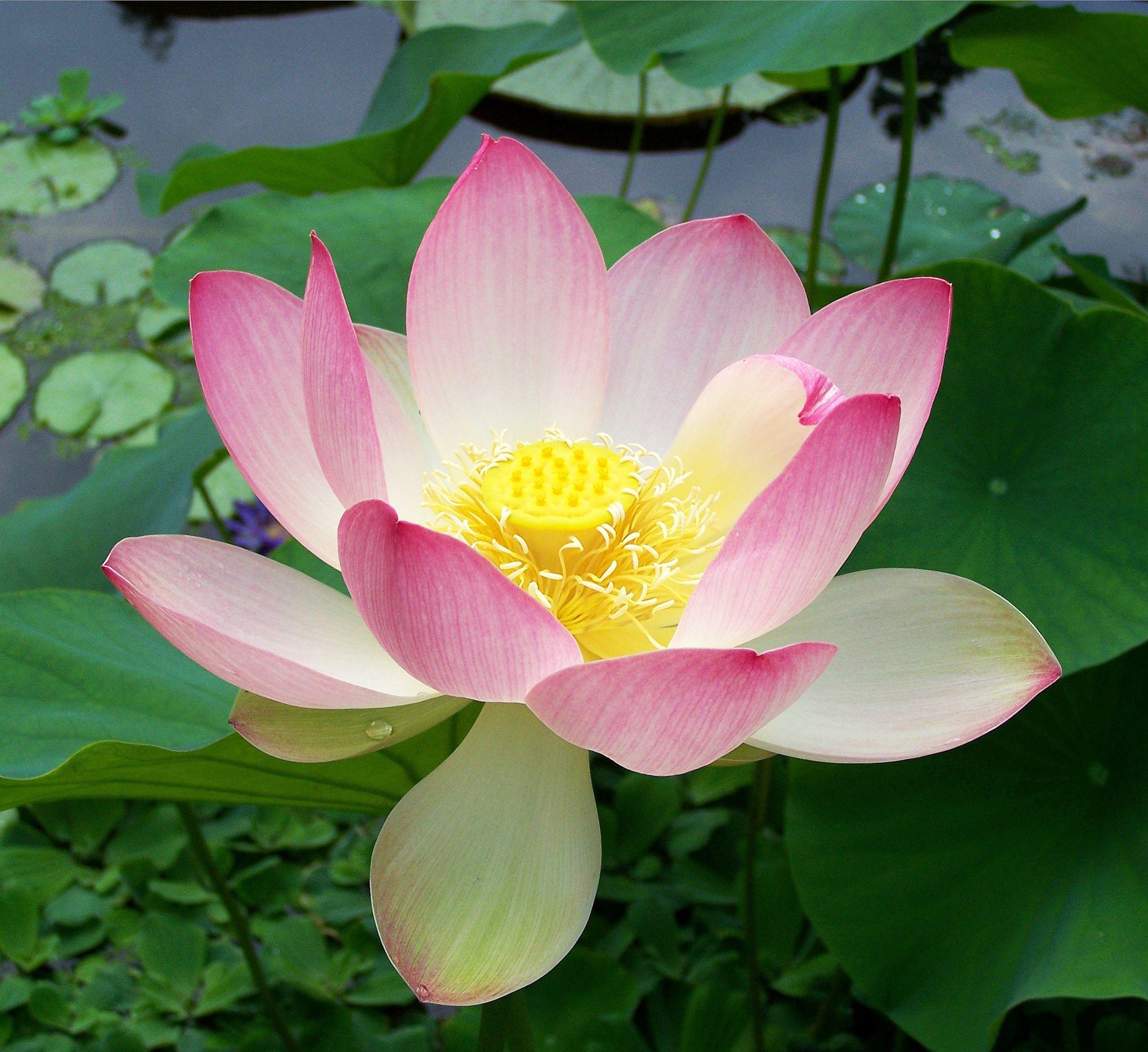 Water Garden Plants Nelumbo Nucifera Sacred Lotus Flower Seeds