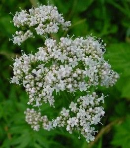 Valeriana (v. officinalis) has been used for medicinal and herbal purposes for at least hundreds of years that we know of. Over the years, valerian has been used as a; sedative, tranquilizer, calming agent, and muscle relaxer, to treat conditions such as; insomnia, nervous tension, hysteria, excitability, sleep and stress disorders, anxiety, and even shell-shock for soldiers during WWI. When used in teas, infusions, tinctures, or added to baths.