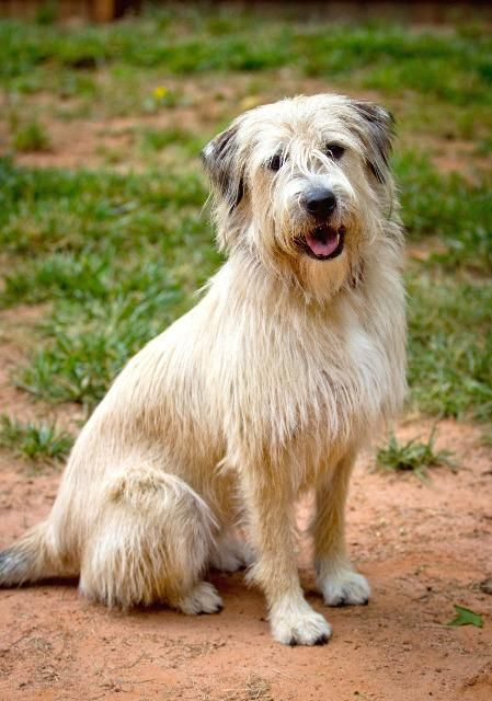 Noodles Wheaten Terrier Old English Sheepdog Mix Adult