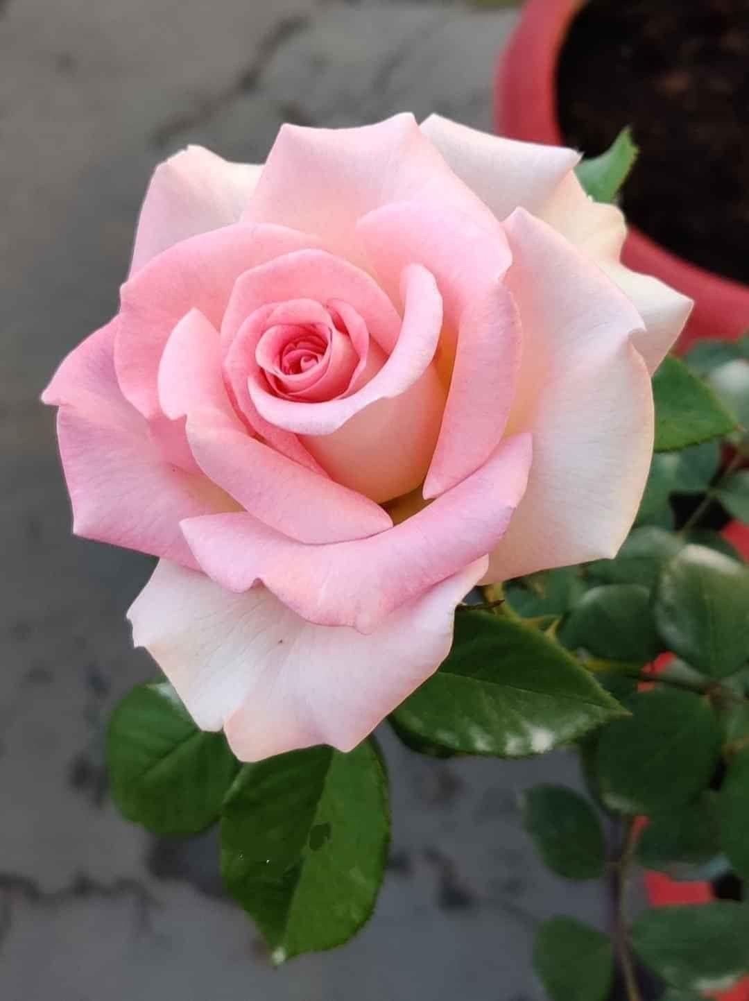Pin By Volodymyr Nogas On Kviti In 2020 Pansies Flowers Flower Garden Design Rose Flower
