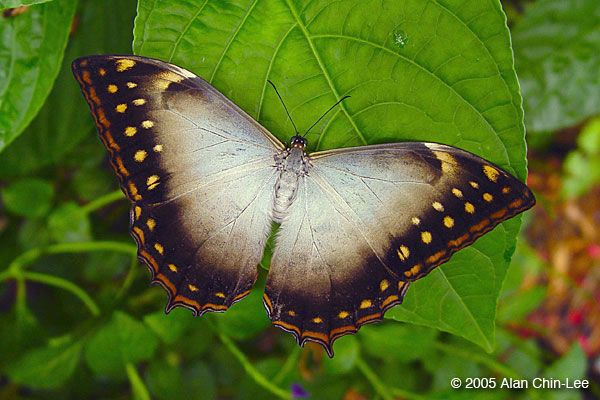 Morpho theseus, Costa Rica. Florida Museum of Natural History Lepidoptera Image Gallery, Alan Chin-Lee, photographer.