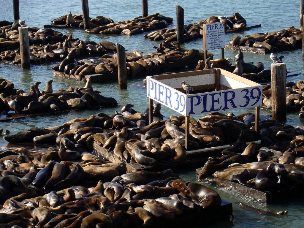 Sea Lions at Pier 39 at Fisherman's Wharf, San Francisco - always a delight to see