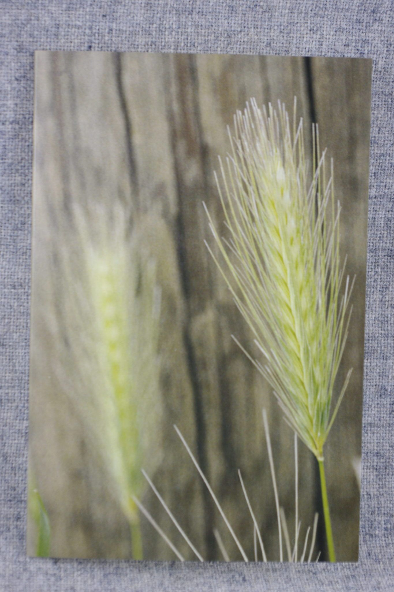 Tattoo Images Eye Of Rye: Close Up Rye Grass Heads Against A Fence Post 4x6 Photo