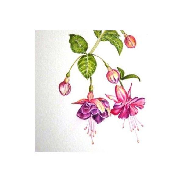 Study Of A Fuschia Drawing Flower Art Flower Drawing Botanical Art