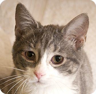 Chicago Il Domestic Shorthair Meet Heidi A Kitten For Adoption Http Www Adoptapet Com Pet 18139910 Chicago Illinois K Kitten Adoption Cat Adoption Pets