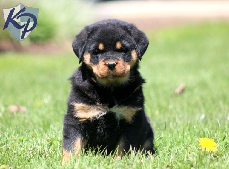 Puppy Finder Find Buy A Dog Today By Using Our Petfinder Baby Rottweiler Rottweiler Puppies Puppies