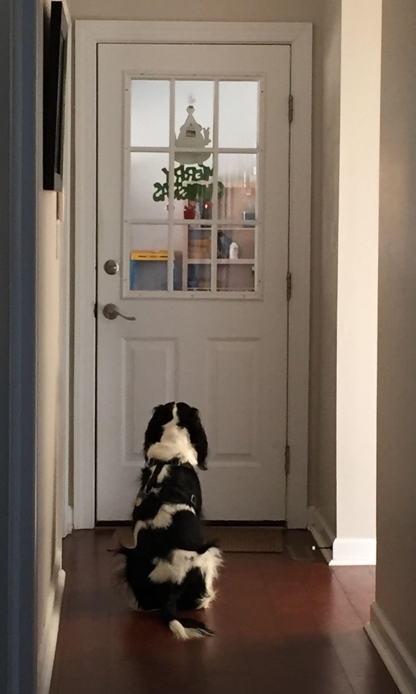 Resultado de imagen para springer spaniel door waiting