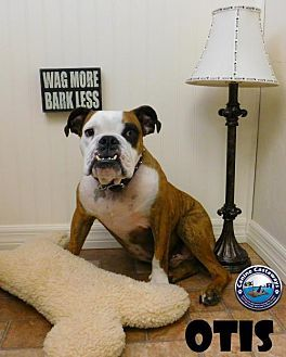 Pictures of Hold - Otis a American Bulldog for adoption in Arcadia, FL who needs a loving home.