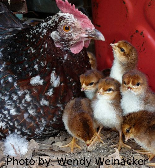 Speckled Sussex Hen And Her Chicks So Excited I Have
