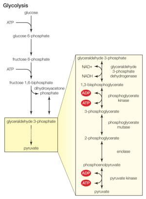 10 Steps of Glycolysis   The o'jays and Sugar
