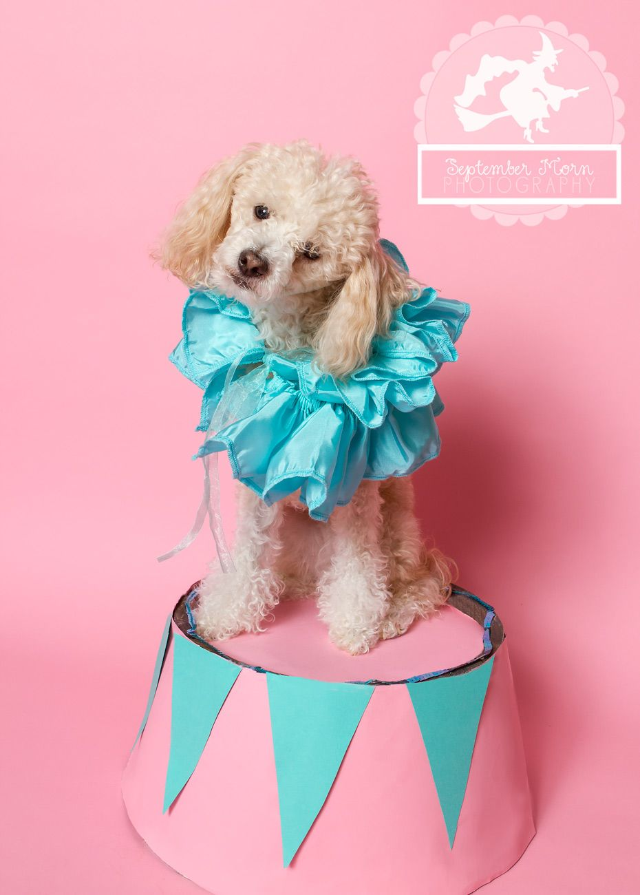 circus-dog-costume | Poodles | Pinterest | Dog, Poodle and Pet costumes