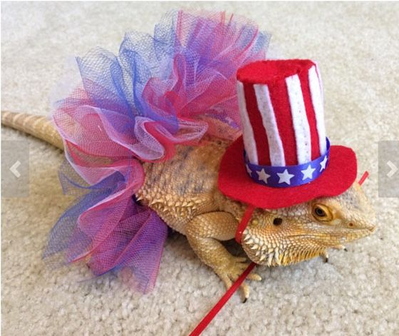 Image result for bearded dragon dressed for fourth of july