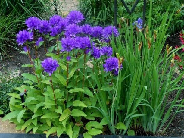 Dzwonek Skupiony Acaulis Campanula Glomerata Albamar Campanula Planting Flowers Plants