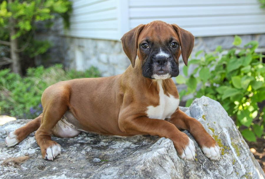 Courageous Boxer Boxer Puppies Puppies Dog Breeder