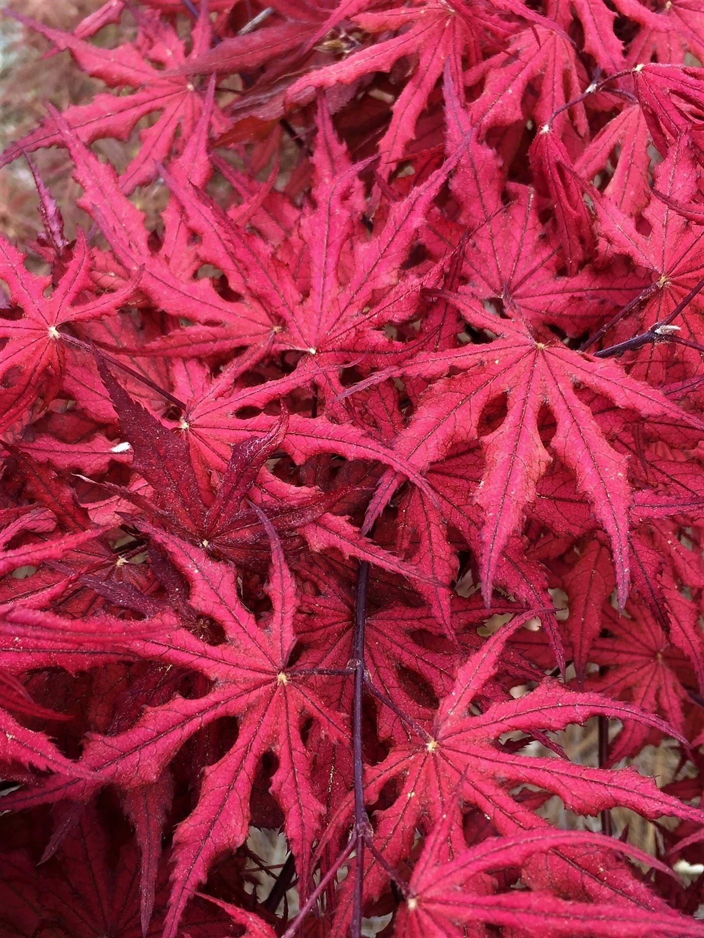 Acer Palmatum Purple Ghost Maples In My Garden Acer Palmatum