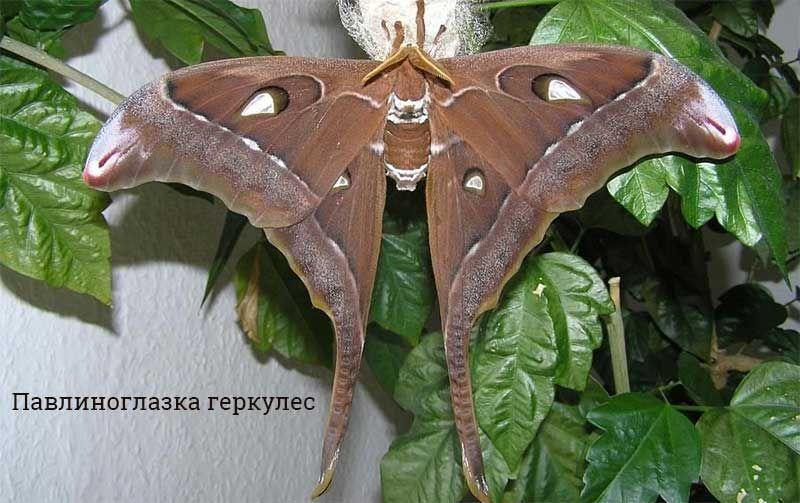 Самые большие бабочки в мире: фото и описание | Насекомые ...