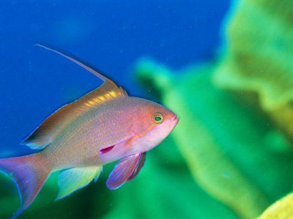 Scalefin Anthias Fish Fish Colorful Fish Beautiful Fish