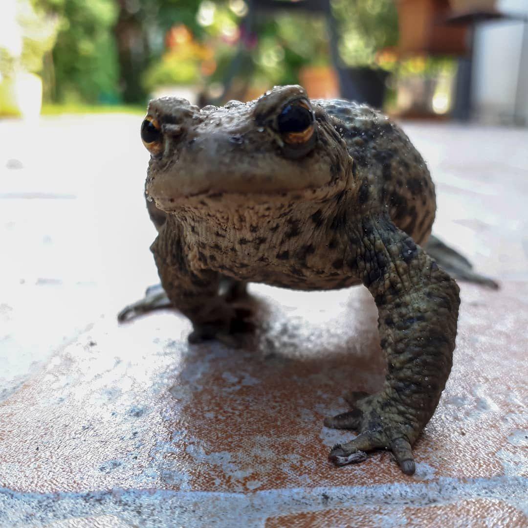 Ich Hatte Gerade Besuch Auf Meiner Terrasse Erdkrote Krote Amphibien Amphibie Bufobufo Tierfoto Tiere Animals Animalphotography In Animals Frog