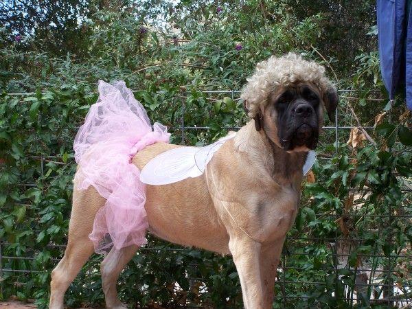 I M Fabulous Mastiffs Big Dog Halloween Costumes Big Dog