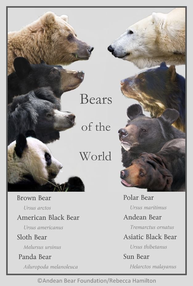 Bears Of The World Well The Panda Is Not Really A Bear But Ok Whatever What About The Grizzly Bear Bear Pictures Malayan Sun Bear