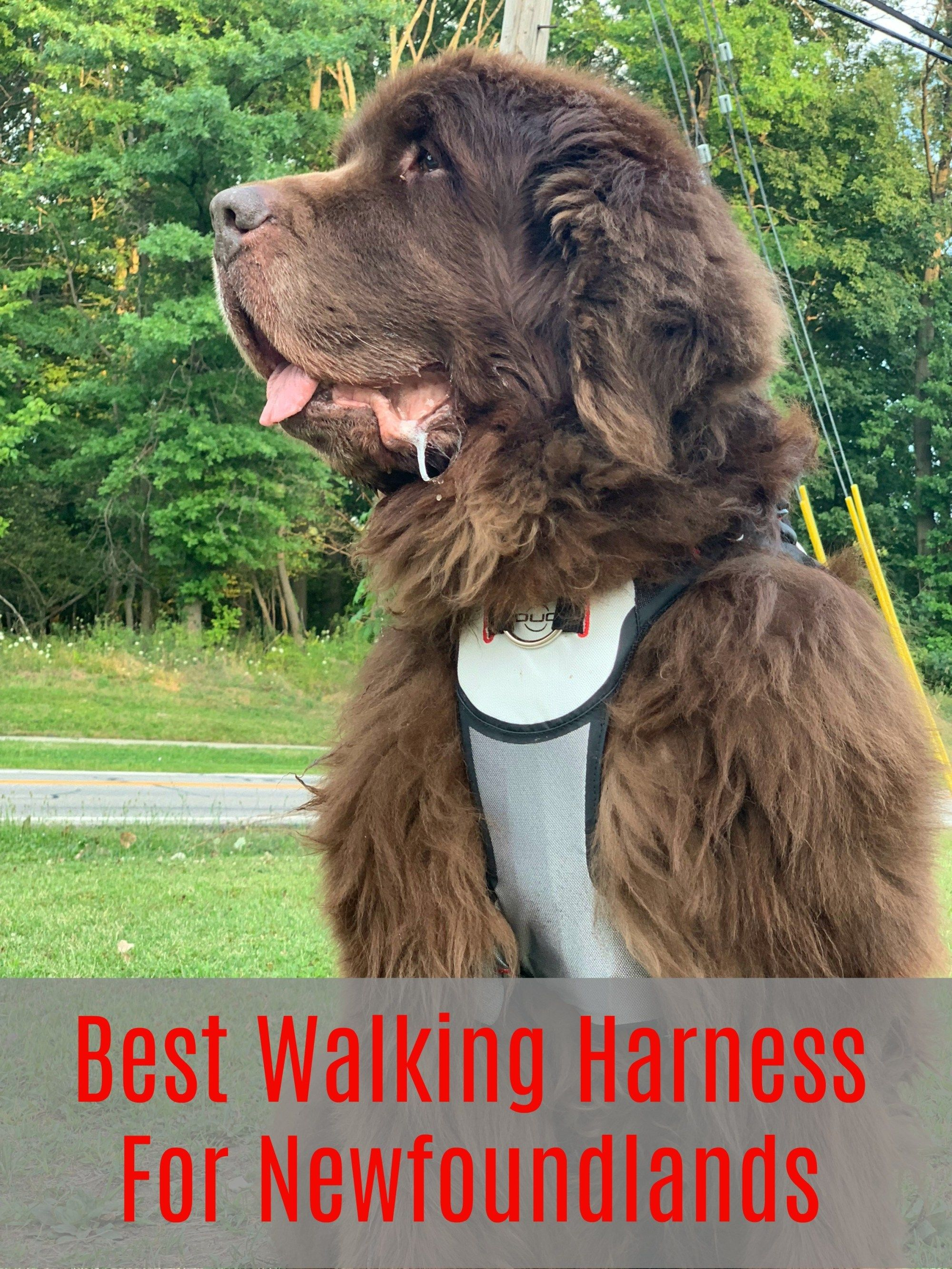 Best Walking Harnesses For Newfoundland Dogs My Brown Newfies Newfoundland Dog Walking Harness Newfoundland