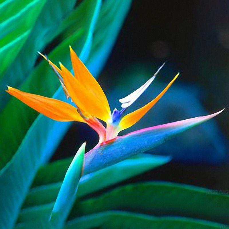Egrow 100pcs Strelitzia Bonsai Seeds Bird Of Paradise Flowers Seed Mix Color Forgarden Plantingdescription Egrow 100 Tropusi Viragok Gyonyoru Viragok Ultetes