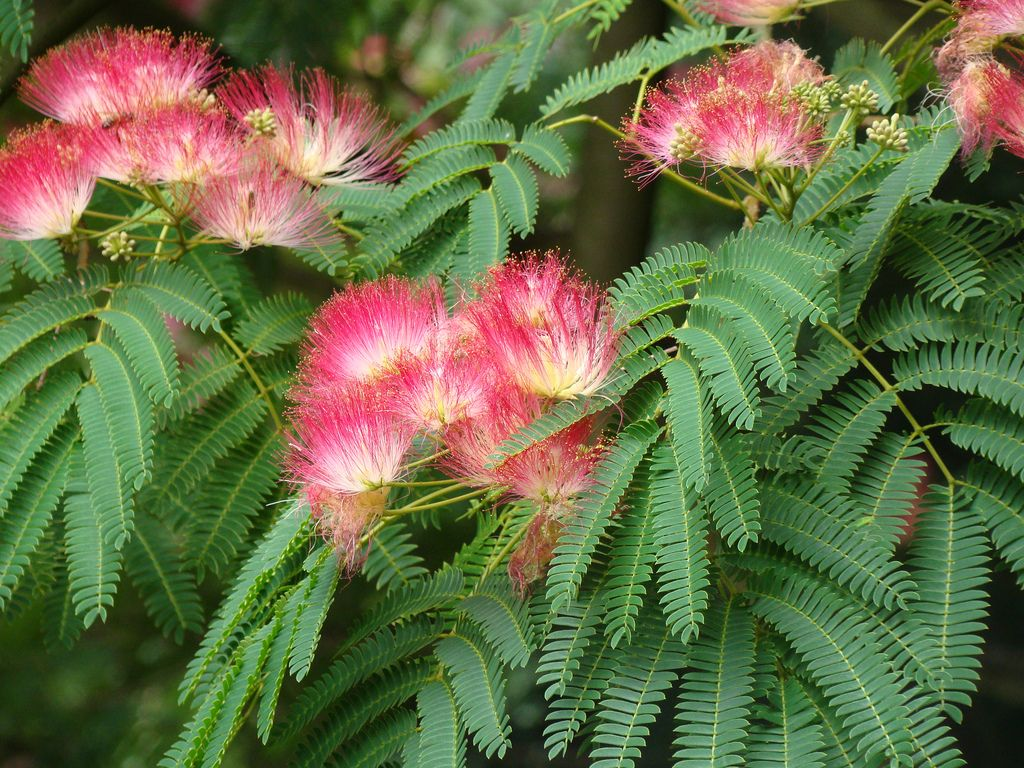 20100820 Stanleypkrosegdn Albizia Cutler Dsc06189 Mimosa Tree Silk Tree Persian Silk Tree