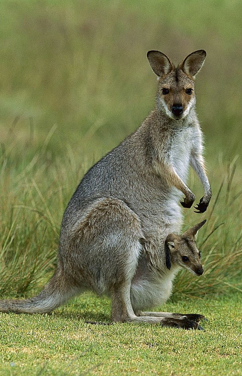 Canguru Cute animals
