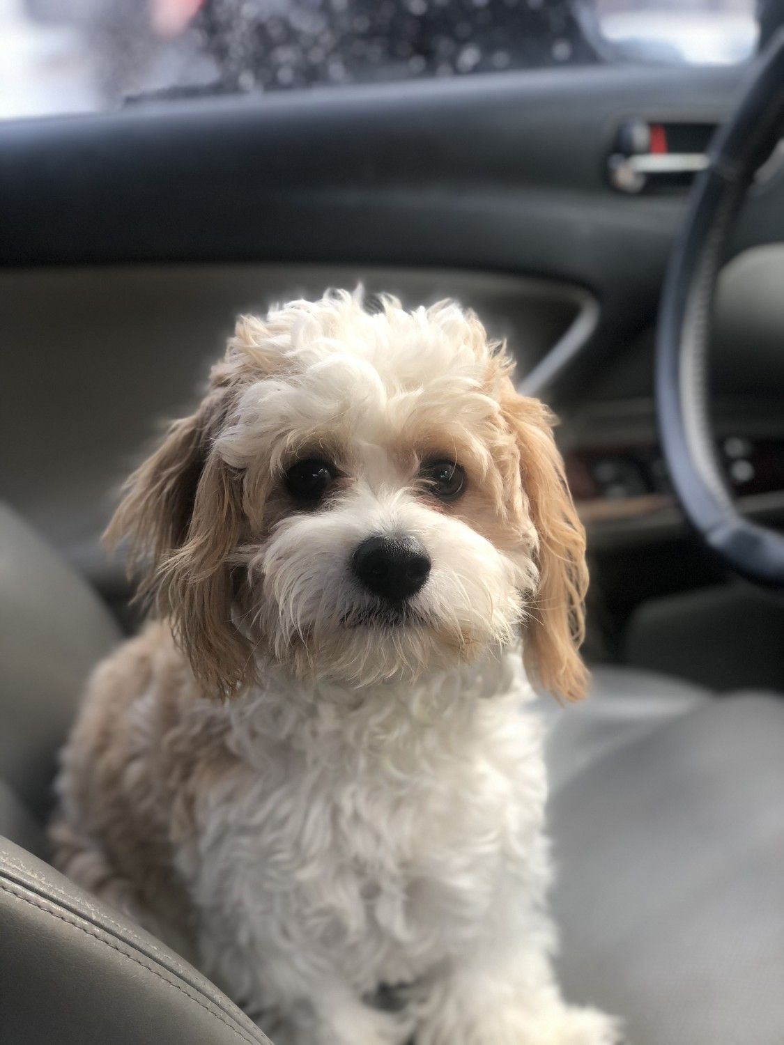 Cavachon Puppies For Sale West New York, NJ in 2020