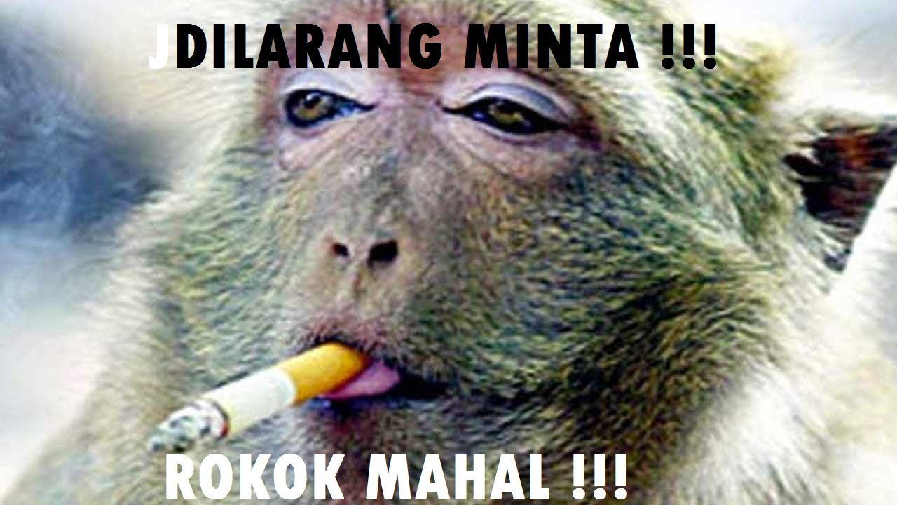 Download 610 Gambar Lucu Binatang Monyet Paling Lucu Monkeys Funny Monkey Pictures Funny Monkey Pictures