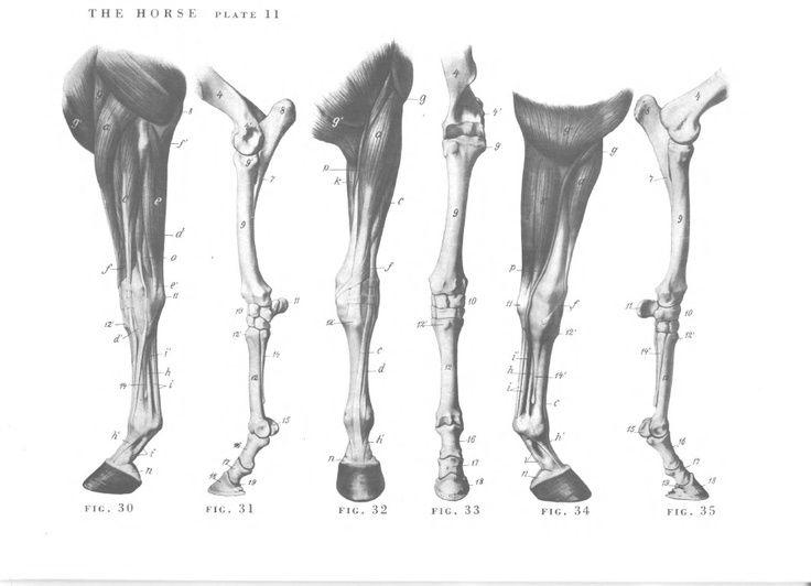 Horse anatomy - Legs   Animal drawings, Horse drawings ...