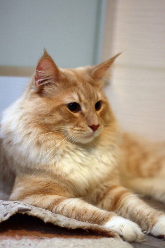 The Norwegian forest cat is a domesticated descendant of a wild forest beast