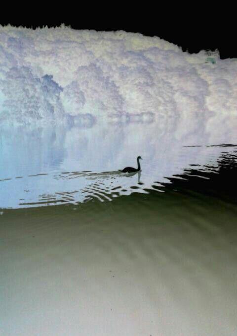 Negatief foto van een witte zwaan  in Duitsland in de Neckar
