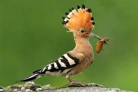 Znalezione obrazy dla zapytania dudek ptak